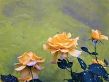 Piękny Lite koloru żółtego róży kwiat zdjęcia royalty free