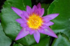 Piękny lotosowego kwiatu tło Zdjęcie Royalty Free