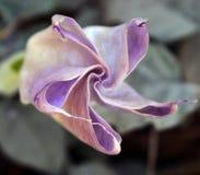 Piękny lotosowy kwiat w ogródzie Lotosowego kwiatu tło Lotosowego kwiatu tekstura obraz royalty free