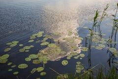 Piękny lustro wody powierzchni widok z wodne leluje i zielona turzyca na zmierzchu fotografia royalty free