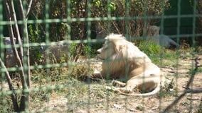 Piękny lwica odpoczynek przy zoo zbiory