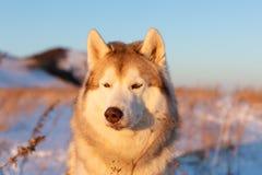 Piękny, mądry i bezpłatny siberian husky psa obsiadanie na wzgórzu w więdnącej trawie przy zmierzchem, zdjęcia stock