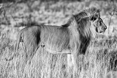 Piękny męski lew przy etosha parkiem narodowym Zdjęcie Royalty Free