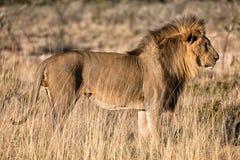 Piękny męski lew przy etosha parkiem narodowym Zdjęcia Stock