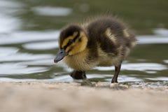 Piękny Młody Śliczny Mallard anas platyrhynchos kaczątko Portr Fotografia Royalty Free