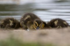 Piękny Młody Śliczny Mallard anas platyrhynchos kaczątko Portr Fotografia Stock