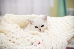 Piękny młody kot, hoduje Szkocki szynszylowy prostego, lying on the beach w łóżku obraz royalty free