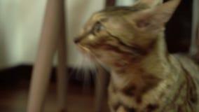 Piękny młody kot patrzeje stronę zbiory
