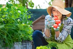 Piękny młody małego biznesu rolnik wącha świeżo zbierających pomidory w ona ogrodowa Wyprodukowany lokalnie życiorys produkt spoż fotografia royalty free