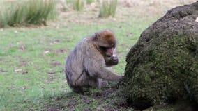 Piękny Małpi łasowanie od ziemi - Barbary Algieria & Maroko makaki zbiory wideo