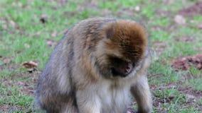 Piękny małpy zakończenie W górę łasowania od ziemi - Barbary makaki zdjęcie wideo