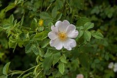 Piękny mały biały kwiat fotografia royalty free