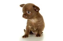 Piękny mały brown chihuahua szczeniaka obsiadanie obraz royalty free