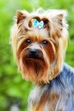 Piękny mały dekoracyjny psi Yorkshire Terrier Zdjęcie Stock
