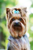 Piękny mały dekoracyjny psi Yorkshire Terrier Zdjęcia Stock
