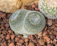 Piękny mały kaktusa i kwiatu kwitnienie Zdjęcie Stock