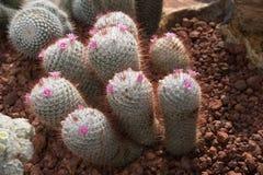 Piękny mały kaktusa i kwiatu kwitnienie Zdjęcia Stock