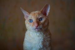 Piękny, mały kot z kędzierzawym włosy, Zdjęcia Stock