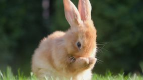 Piękny mały królik odpoczywa w ogródzie zdjęcie wideo