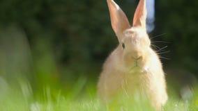 Piękny mały królika odpoczywać zdjęcie wideo