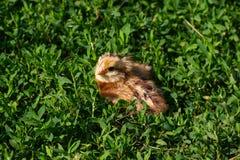 Piękny mały kurczątko w zielonej trawie Fotografia Royalty Free