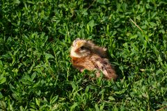 Piękny mały kurczątko w zielonej trawie Obraz Royalty Free