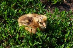 Piękny mały kurczątko w zielonej trawie Zdjęcia Royalty Free