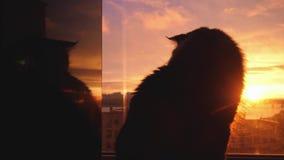 Piękny Maine Coon kot siedzieć na nadokiennym zegarka świetle słonecznym przy zmierzchem 3840x2160 zbiory wideo