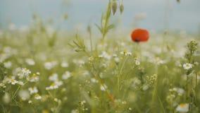 Piękny Makowego ziarna pole bloom maku zbiory wideo