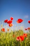 Piękny makowy kwiat, lato natury tło Zdjęcia Royalty Free