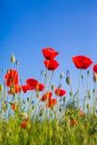 Piękny makowy kwiat, lato natury tło Obraz Royalty Free