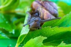 Piękny makro- strzał śmieszny ciekawski ślimaczek robi jego wolnemu przespacerowaniu zdjęcie royalty free