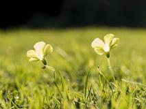 Piękny makro- strzał szczawika corniculata Fotografia Royalty Free