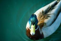 Piękny Mallard Drake pływa o z swój wyróżniającymi ocechowaniami Fotografia Royalty Free