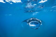Piękny manty Ray latać podwodny w świetle słonecznym w błękitnym morzu Zdjęcia Royalty Free