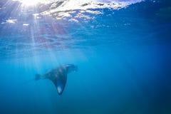 Piękny manty Ray latać podwodny w świetle słonecznym w błękitnym morzu Zdjęcia Stock