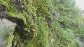 Piękny mech i liszaj zakrywający kamień Jaskrawy - zielony mech tło Naszły zielony abstrakta wzór płytkie ogniska, zbiory wideo