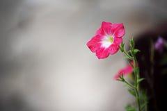 Piękny menchia betonu i kwiatu tło Barwinka kwiat zdjęcia stock