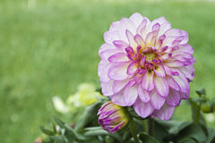 Piękny menchia kwiat z Jasnozielonym tłem Obraz Stock