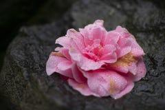 Piękny menchia kwiat z mokrymi rosa kroplami zdjęcia stock