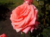 Piękny menchia kwiat zakrywający z wodnymi kropelkami Zdjęcie Royalty Free