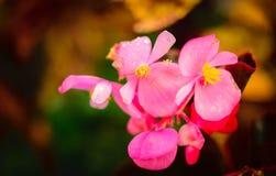 Piękny menchia kwiatu zbliżenia strzał Zdjęcia Royalty Free