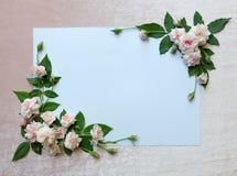 Piękny menchii róża na białym papierze Fotografia Royalty Free
