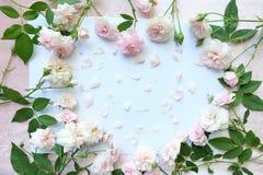 Piękny menchii róża na białym papierze Zdjęcia Royalty Free