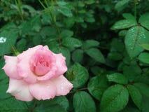 Piękny menchii róży kwiat w ogródzie Obrazy Stock