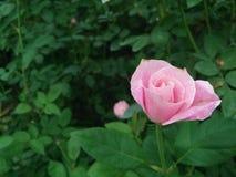 Piękny menchii róży kwiat w ogródzie Fotografia Royalty Free