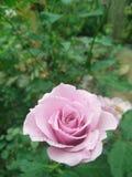 Piękny menchii róży kwiat w ogródzie Obraz Royalty Free