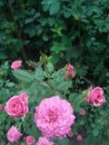 Piękny menchii róży kwiat w ogródzie Zdjęcia Stock