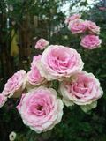 Piękny menchii róży kwiat w ogródzie Zdjęcie Royalty Free