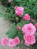 Piękny menchii róży kwiat w ogródzie Obraz Stock